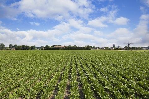チコリの畑